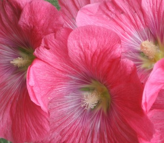 Tasmanian hollyhocks